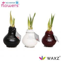 No Water Flowers®, wax amaryllis, Waxz® Christmas Printz