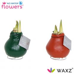 wax amaryllis, No Water Flowers Dark Green Terracotta mix