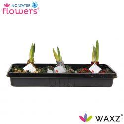 wax amaryllis met kerstkrans in tray