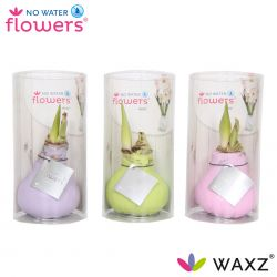 wax amaryllis pastel kleuren in koker