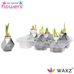 wax amaryllis giletz zwart in tray