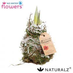 amaryllis met echt mos en sneeuw