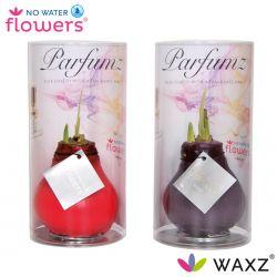 wax amaryllis met geur, kers en lavendel parfum in koker