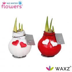 wax amaryllis valentijn wit en rood met hartjes