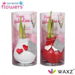 wax amaryllis valentijn wit en rood met hartjes in koker