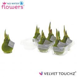 fluweel amaryllis velvet touchz moss green in tray