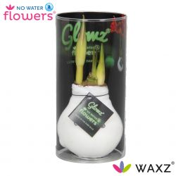 wax amaryllis glow in the dark in koker