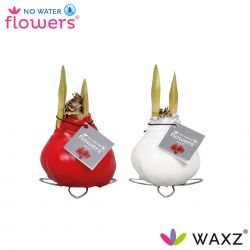 wax amaryllis kolibri mini