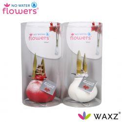 wax amaryllis kolibri mini met sneeuw in koker