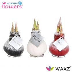 No Water Flowers, wax amaryllis met sneeuw