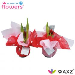amaryllis met doekjes valentijn thema
